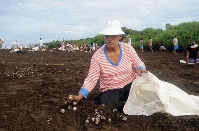 Zbirka kornjača jaja u Kostarika