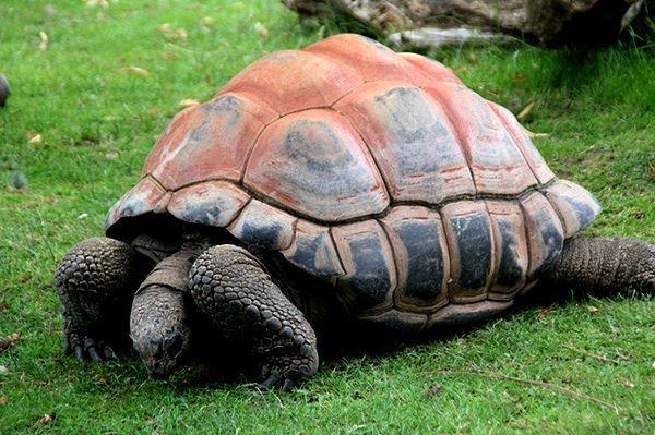 Sejšeli gigant kornjača