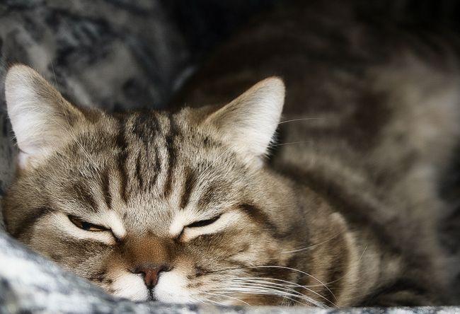 Секреты правильного ухода и кормления прямоухих кошек скоттиш страйт