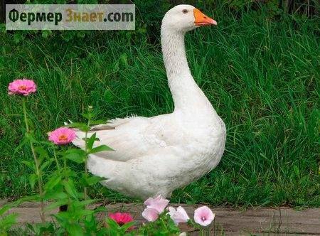 Секреты птицеводства: белые итальянские гуси