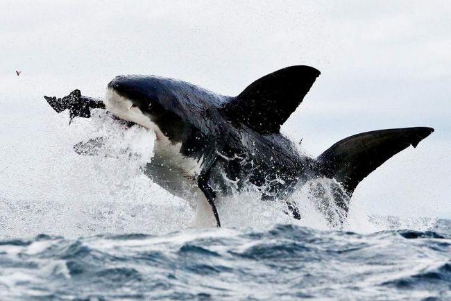 Porbeagle - jedan od najbržih morskih pasa.