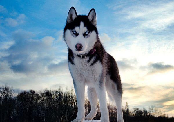 Зоозащитники обвинили игру престолов в четырехкратном росте брошенных собак хаски