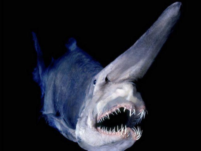Shark-nosoroga