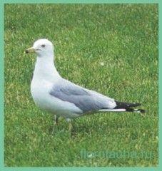 Семействочайковые / laridae