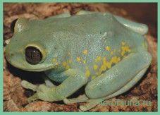 Семействогиперолииды / hyperoliidae