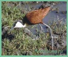 Семействояканы / jacanidae