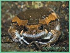 Семействоквакши узкоротые / microhylidae