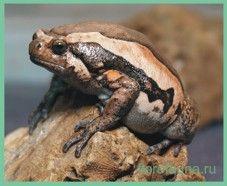 Лягушкаукрашенная бычья / kaloula pulchra