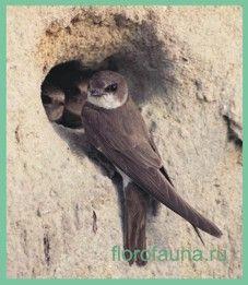 Семействоласточковые / hirundinidae