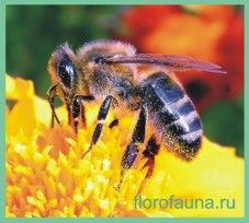 Семействопчёлы / apidae