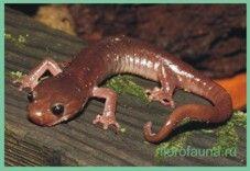 Семействосаламандры безлегочные / plethodontidae