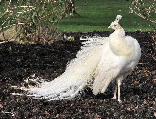 Белый павлин в московском зоопарке.