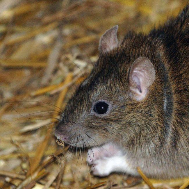 Серая крыса, или пасюк (rattus norvegicus)