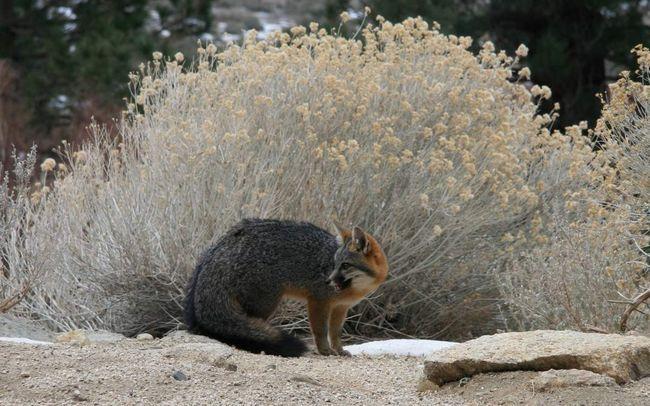 Siva lisica živi u Srednjoj i Južnoj Americi.