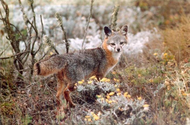 Boja u sivom lisica je vrlo neobičan i atraktivan.