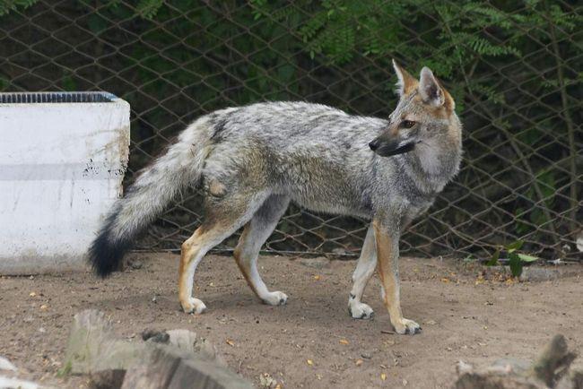 Gray Fox - monogamnim životinja, a par, jednom formiran, čuva se zajedno za život,