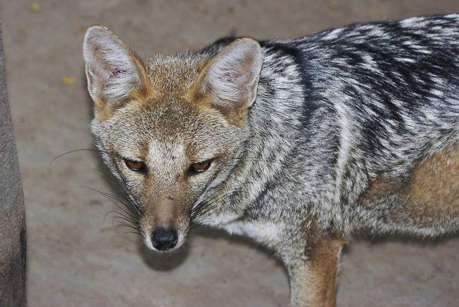 Sive lisice ponekad podvorovyvayut životinje u pozadini ljudske ekonomije.