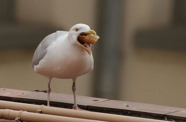 Racek - dravých morských vtákov.
