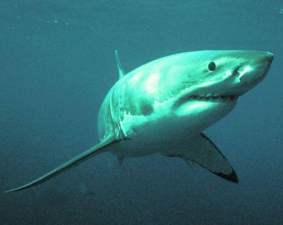 Большая белая акула (Carcharodon carcharias).