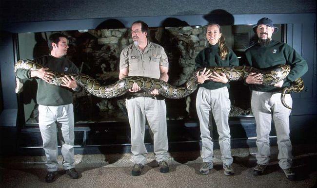 Сетчатый питон - самая длинная змея в мире