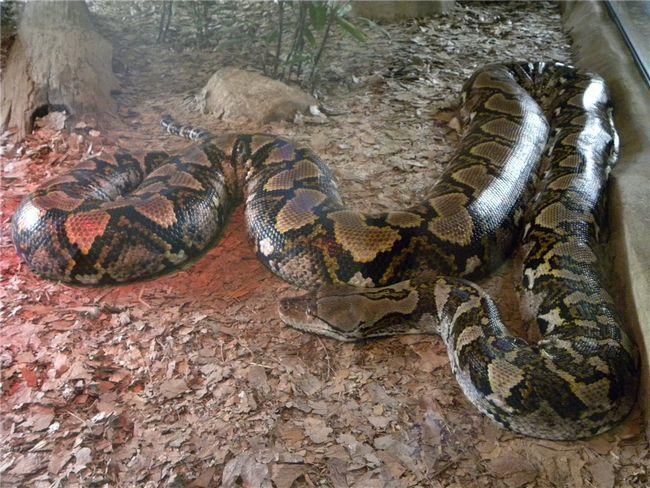 Síťované python (lat. Broghammerus reticulatus)