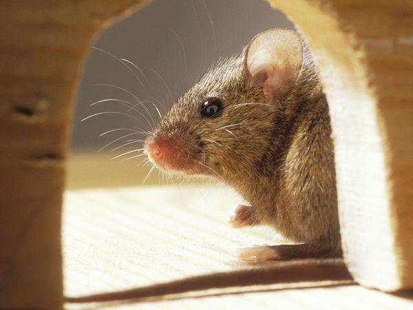 Съевшая марихуану мышь объявлена в розыск