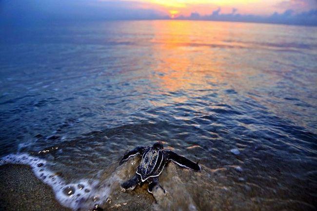 Morskih kornjača gniježđenje sezone došao kraj