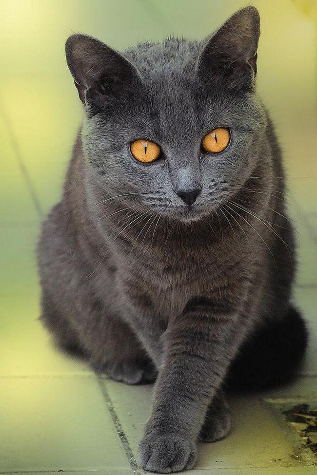 Картезианская кошка (шартрез - фр. Chartreux, нем. Kart user)