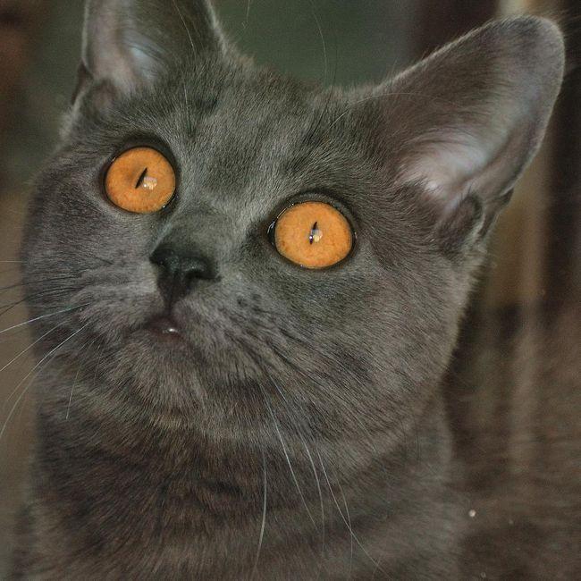 Картезианская кошка (шартрез - фр. Chartreux, нем. Kart user) https://vetua.com