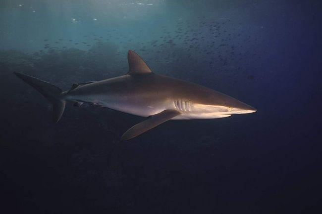 Шелковая акула (Carcharhinus falciformis).