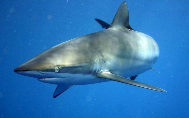 Шелковая акула питается рыбой и моллюсками.