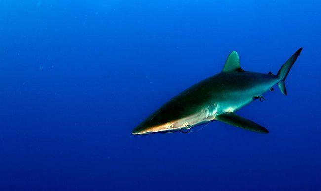 Шелковые акулы распространены по всей планете.