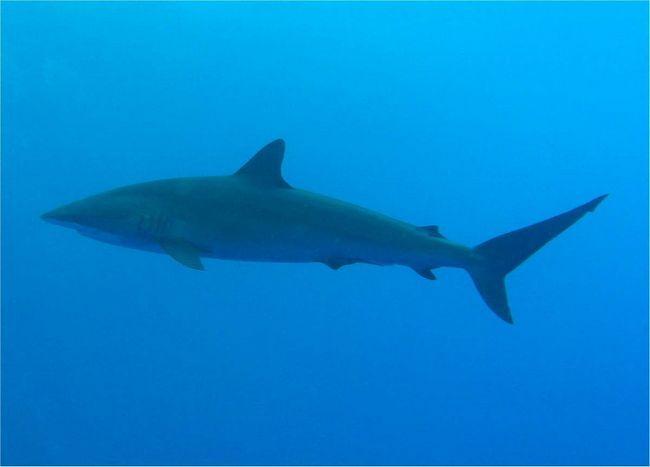 Шелковые акулы редко нападают на людей.