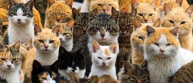 Шесть кошек на человека: остров аошима