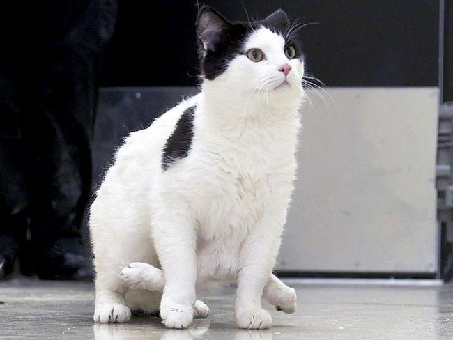 Šest nogu mačka prikupiti novac za operaciju