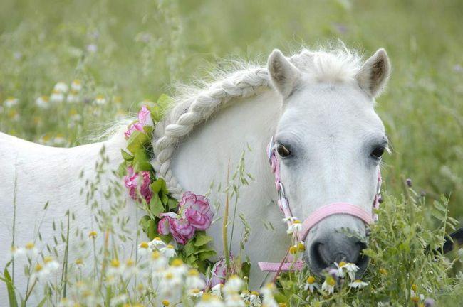 Bijele ponija.