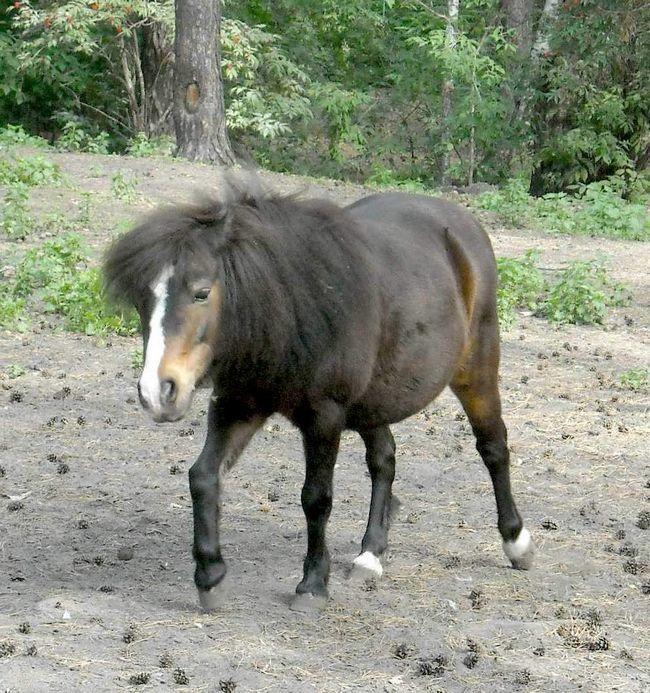 Shetland ponija se koristi kao vodič.