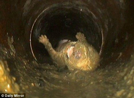 Štene koker španijela nedelje starosti, nastavio se oporavlja nakon što je slučajno opran u toalet.