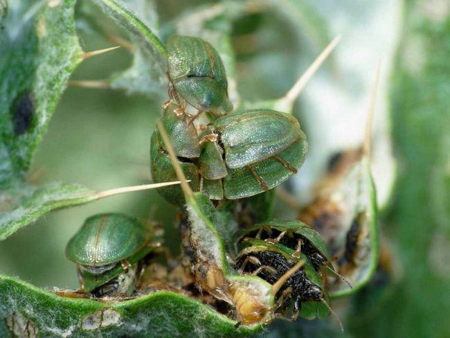 Artičoky schitonoski obyčajný v teplých krajín. Oni sa živia rastlín v rodine Asteraceae.