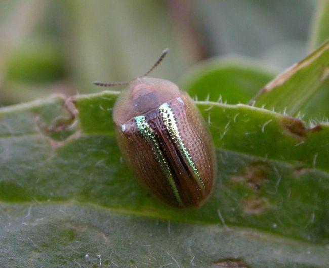 Schitonoska opar striebra - škodca pestovaných rastlín.