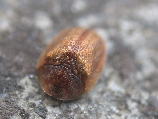 Ginger schitonoska - chrobák - jedák Convolvulaceae rastliny.