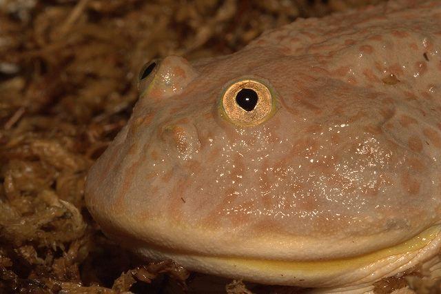 Щитоспинки (lepidobatrachus), или лягушка баджита