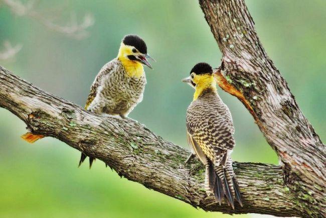 Ухаживая за самкой, самец демонстрирует ей волнообразный полет с быстрыми взмахами и короткими скользящими движениями, подчеркивающими яркий окрас подкрыльев.