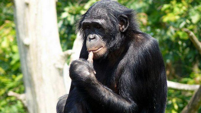 čimpanza Bonobo