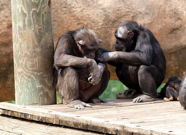 Čimpanze dolaze u kontakt sa svojim prijateljima samo za sebičnih razloga.