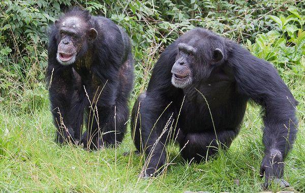 Čimpanze su svjesni smrti svojih rođaka kao ljudi