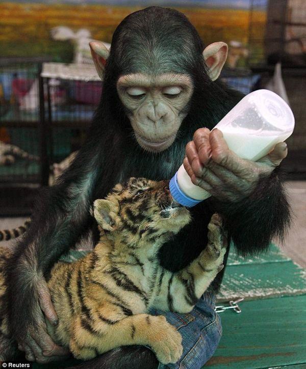 Šimpanzi ukázal péče o matku tygra