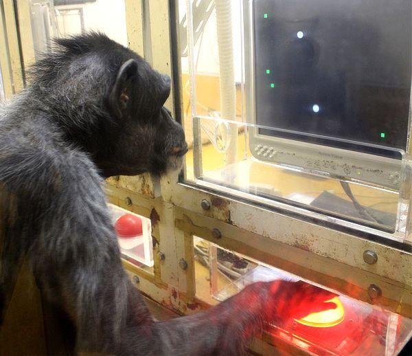 Čimpanze su mi sve bliže ...