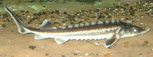 Životni vijek ribe trn - 30 godina.