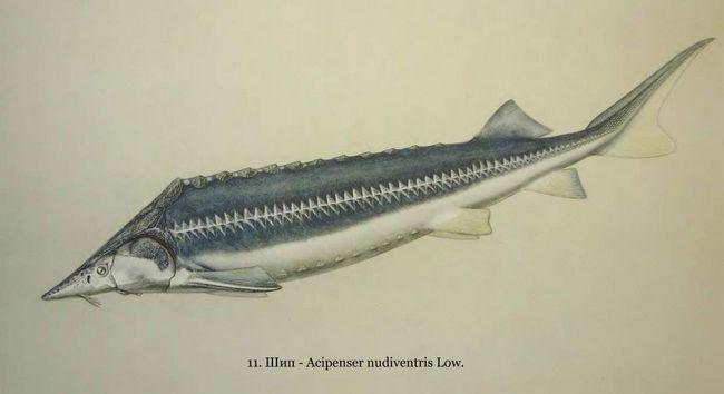 Spike - vrijedan hranu za ribe.